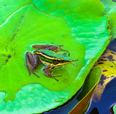 The single frog on lotus leaf. Stock Images