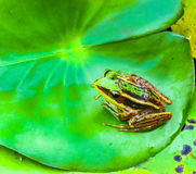 The single frog on lotus leaf for decorate project. Stock Images