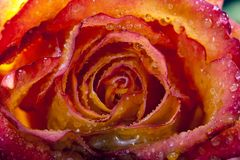 Single frozen flower of rose - macro Stock Photo