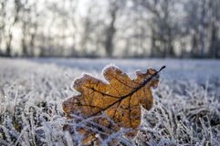 Single frozen oak leaf in frozen grass, grassland, backligting. Sunny, forest stock photography