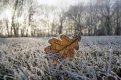Single frozen oak leaf in frozen grass, grassland, backligting. Sunny, forest on background stock photography