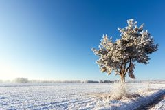 Single frozen pine next to meadow covered by snow Stock Photo