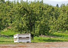 Single Fruit Packing Crate in Orchard Stock Photos