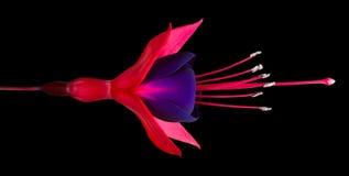 Single Fuchsia Flower Isolated on Black. Horizontal Composition Royalty Free Stock Photos