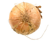 Single full orange onion Stock Images