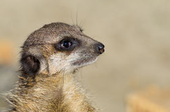 Single funny looking meerkat Royalty Free Stock Photo