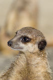 Single funny looking meerkat Royalty Free Stock Images