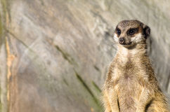 Single funny looking meerkat Stock Photos