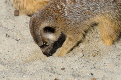 Single funny looking meerkat Stock Photography