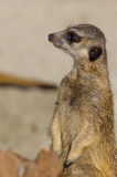 Single funny looking meerkat Royalty Free Stock Image
