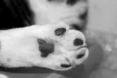 Single Furry White Cat Paw Royalty Free Stock Photos