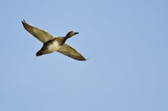 Single Gadwall Flying in a Blue Sky Stock Photo