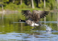 One Goose Taking Off Stock Image