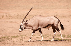 Single Gemsbok (Oryx Gazella) Royalty Free Stock Photos