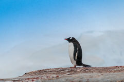 Single Gentoo Penguin Antarctica Stock Images
