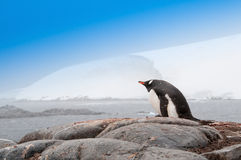 Single Gentoo Penguin Antarctica Royalty Free Stock Photo