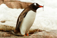 Single Gentoo penguine, Antarctica Royalty Free Stock Image
