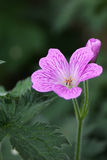 Single Geranium Flower. A single Geranium flower against a background of vegetation Royalty Free Stock Photos
