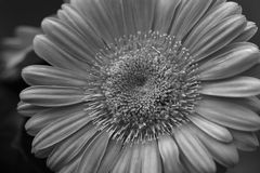 Single Gerber Daisy stock images