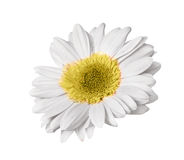 Single gerbera Royalty Free Stock Images
