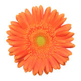 Single gerbera. On a white background Stock Photo