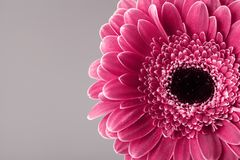 Single gerbera daisy flower head closeup. Spring greeting card for mother or womans day. Macro. Stock Photography