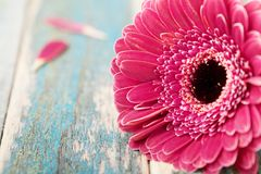 Single gerbera daisy flower closeup on vintage wooden background. Greeting card on mother or womans day. stock images