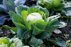 Single giant cabbage on a field. On a sunny day Stock Photography