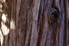 Single giant sequoia in the forest, close up giant sequoia, Sequoiadendron giganteum royalty free stock image