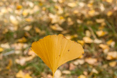 Single Gingko Leaf in Autumn Stock Image