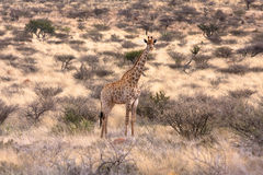 Single Giraffe Royalty Free Stock Photos