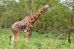 A single giraffe. Stands still on the bush. The contrast between its color and the green background is very damastic royalty free stock image
