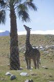 Single giraffe standing with palm tree Royalty Free Stock Photos