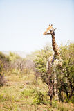 Single giraffe standing between shrubs Royalty Free Stock Photo