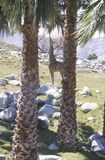 Single giraffe standing between two palm trees Royalty Free Stock Photo