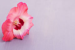 Single Gladiolus flower on light violet wooden board Royalty Free Stock Image