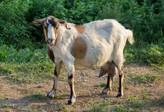 A single goat. A goat waiting to be milked Stock Photos