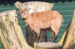Single goat in a farm Stock Images