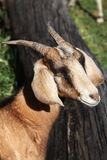 Single goat. Looking to the side royalty free stock image