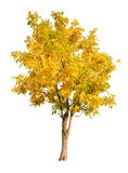 Single gold autumn tree isolated on white Royalty Free Stock Photography