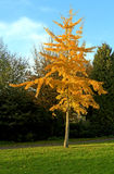 Single golden colored autumn tree in the park Stock Photo