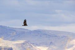 Single Golden Eagle Flying in Desert Sky Royalty Free Stock Image