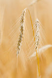 Single golden ears. Single golden ears of rye, bottom, vertical Royalty Free Stock Photos