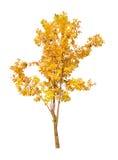 Single golden fall tree isolated on white Stock Photo