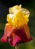 Single Golden Iris. Close up of single golden Iris, bathed in sunshine illuminating it's beautiful delicate petals Royalty Free Stock Photo