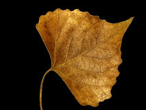 Single golden leaf Royalty Free Stock Photography