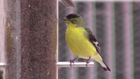 Single goldfinch at feeder stock footage
