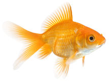 Single goldfish Royalty Free Stock Images