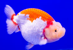 Single Goldfish Stock Images