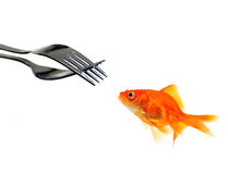 Single goldfish facing forks Stock Image